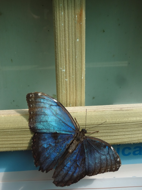 Blue Morpho, Central and South America.