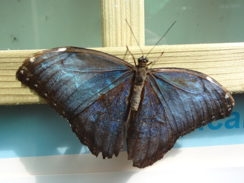 Blue Morpho, Central and South America, Close-up.
