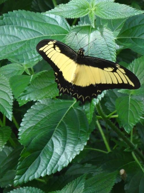 Eastern Tiger Swallowtail, North & Eastern America.