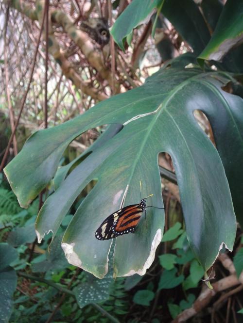 Ismenius Longwing, Central America.