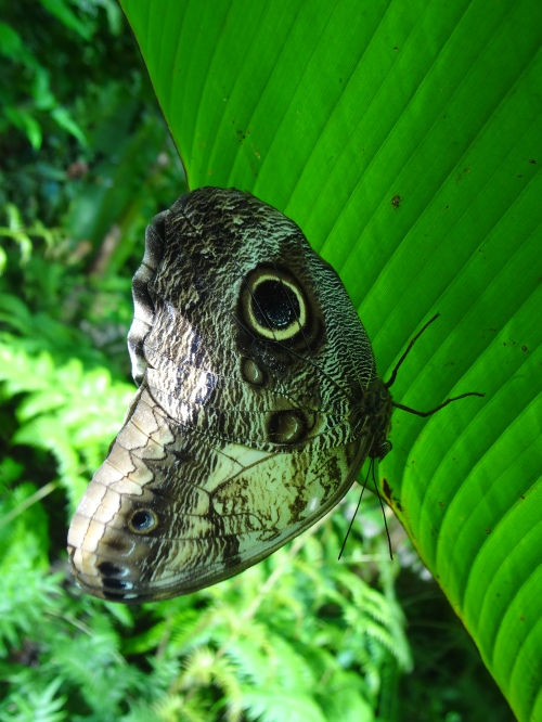 The Owl Butterfly, Central and South America.  Fake eye and feathers scare predators away.